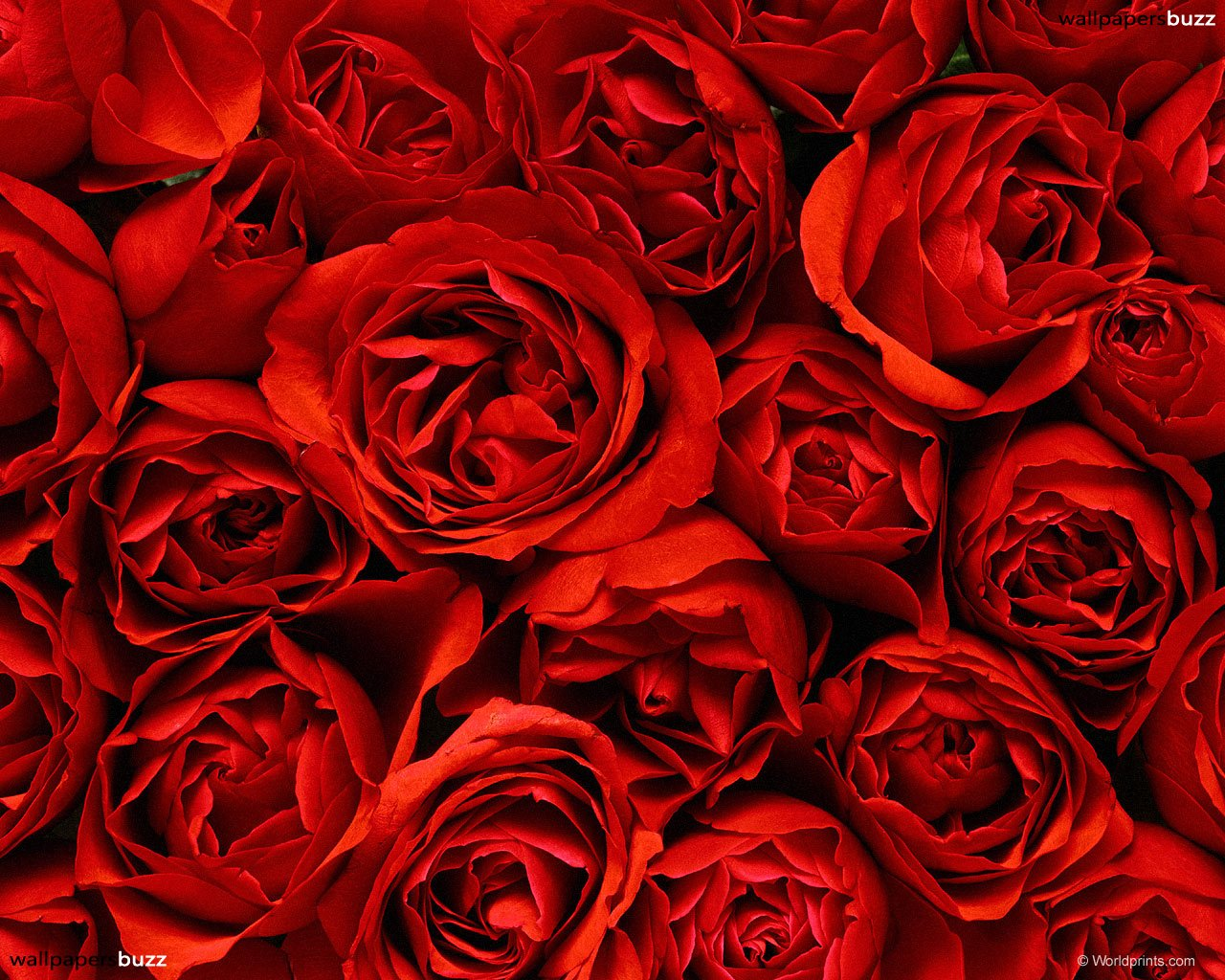 Dagens ros renvilja - Red rose flower hd images ...